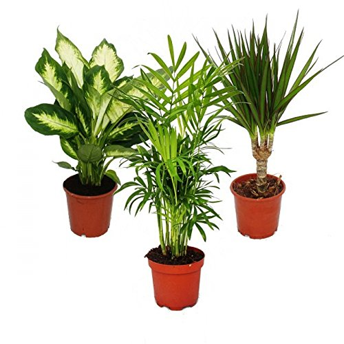 Indoor Plant Mix II 3rd Sets, 1x Dieffenbachia, 1x Chamaedorea (mountain  Palm) 1x Dracena Marginata (dragonu0027s Tree), 10 12cm Pots, Green Plants Set