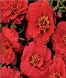 Fiore - Portulaca Happy Trails Intenso Rosso - 10 Semi Pellettati
