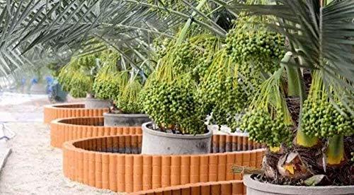 Seedling Live Plant Medjool Date Palm Dactylifera Fruit Palm Seedling Live Plant #GMT01YN Get 1