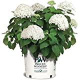 Incrediball Hydrangea, white flowering plant in 3 Gallon pot - Hydrangea Arborescens 'Incrediball'