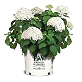 Proven Winners - Hydrangea arb. Incrediball (Smooth Hydrangea) Shrub, white mophead flowers, #3 - Size Container