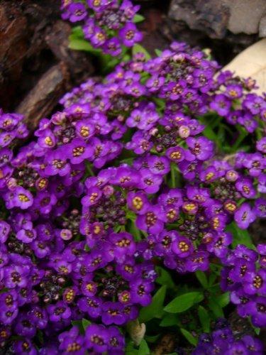 60+ Violet Queen Sweet Fragrant Alyssum Perennial Flower Seeds