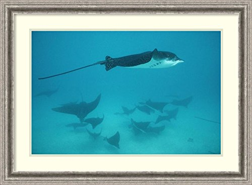 framed-art-print-spotted-eagle-ray-schooling-in-protective-group-galapagos-islands-ecuador-by-tui-de