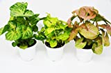 "3 Different Syngonium Plants - Arrowhead Plant - FREE Care Guide - 4"" Pot"