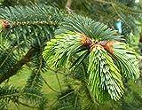 Homegrown Fir Tree Seeds, 35, Himalayan Fir Tree