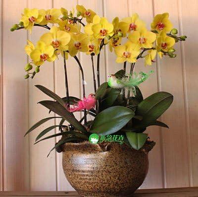 Exóticas semillas de flores de orquídeas Cattleya orquídea mariposa multicolor Bonsai Monoflord mini jardín de plantas fáciles de cultivar 200 PC / bag 12: Amazon.es: Jardín