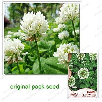 250 Samen Pack Weissklee Samen Topf Klee Eingetopft Balkonpflanzen