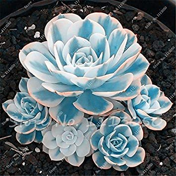 Seeds Shopp 100 Seeds/Pack Mini Potted Succulents Seed Stone Blue Lotus Flower Seeds Garden Decoration Bonsai Flower Seeds DIY Potted Plants