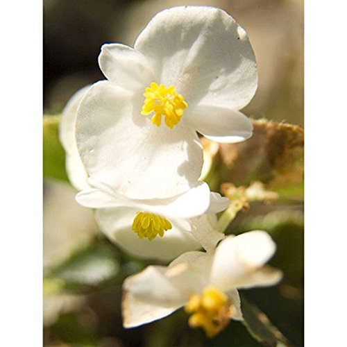 Fibrous Begonia Cocktail Series Plant Seeds (Pelleted): Whiskey (White) - 1000 Seeds - Decorative Flower Plant, Houseplant - Valley Whiskey