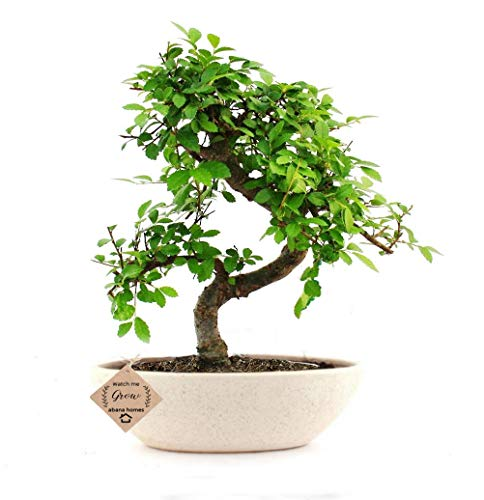 Abana Homes Chinese Elm Bonsai Live Plant with Pot – Home Decor | Perfect Diwali Gift
