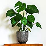 American Plant Exchange Philodendron Monstera