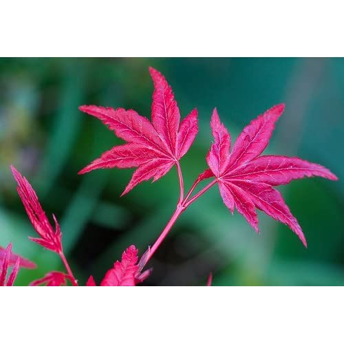 Beni Maiko Japanese Maple 3 - Year Graft