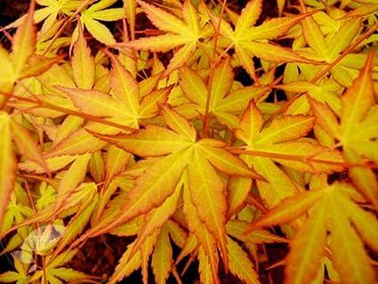 Amazoncom Katsura Hime Japanese Maple 2 Year Graft Maple