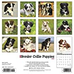 Just Border Collie Puppies 2020 Wall Calendar (Dog Breed Calendar) 3