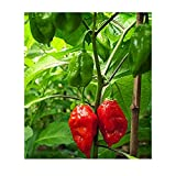 Potomac Banks Pack of 15 Hot Ghost Pepper Seeds (Bhut Jolokia Ghost) Comes with Free How to Live Stress Free Ebook