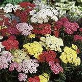 Yarrow (Achillea Millefolium) - Summer Pastel Mix - 50 Seeds