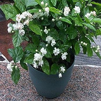 Amazon.com : 20seeds/bag Jasmine seed indoor plants perennial ...