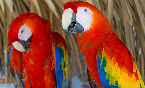 LAMINATED 39x24 inches Poster: Scarlet Macaw Guacamayas Macaws Parrot Tropical Bird Ave Bird (Scarlet Macaw Parrot)