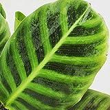 "Calathea Zebrina Plant 6"""