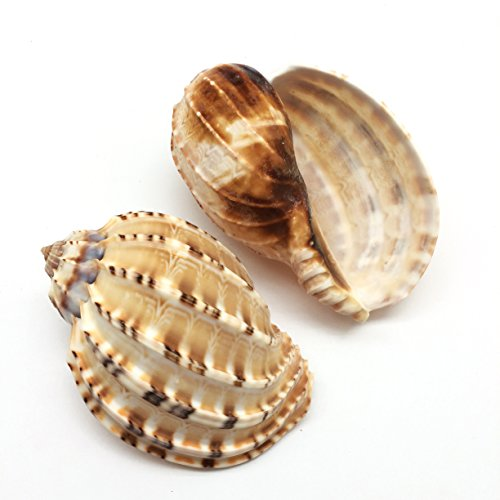 (PEPPERLONELY 2 PC Harpa Davidus, David Harp Shells for Hermit Crab Shells or Display Décor, 3-1/2 Inch ~ 4 Inch)