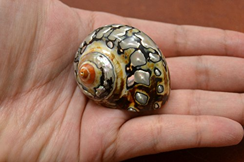 South Africa Sarmaticus Turbo Hermit Crab Sea Shell 1 1/2