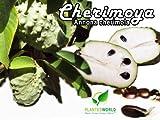 Cherimoya - Annona cherimola - 5 Seeds with High Germination Rate