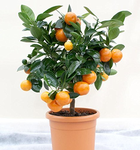 Valencia Orange Tree - 2