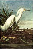 Laminated Audubon Snowy Egret Bird Art Poster Print 13 x 19in