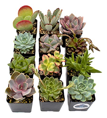 Fat Plants San Diego Premium Succulent Plant Variety Package. Live Indoor Succulents Rooted in Soil in a Plastic Growers Pot (12)