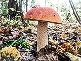 Seeds Mushrooms Orange-Cap Bolete