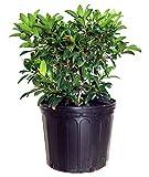 Kalmia lat. 'Sarah' (Mountain Laurel) Evergreen, pinkish-red flowers, #3 - Size Container
