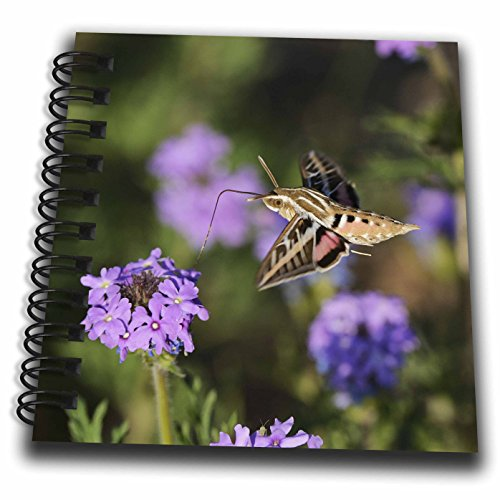 3dRose Danita Delimont - Insects - White lined sphinx feeding on Prairie Verbena, Hill Country, Texas - Mini Notepad 4 x 4 inch (db_279582_3) (Mini Verbena)