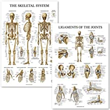 Skeletal System and Ligaments of The Joints Anatomical Poster Set - Laminated 2 Chart Set - Skeleton and Ligaments Anatomy - 18 x 27
