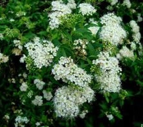 Bridal wreath (reeves) Spirea Japonica - Live Plant - Full Gallon Pot