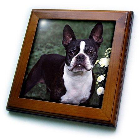 3dRose ft_3111_1 Boston Terrier Duke-Framed Tile, 8 by (Boston Framed Tile)