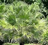 Best NATHAN Fans - Chinese Fan Palm 10 Seeds It's Easy to Review