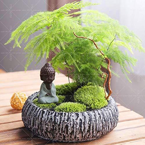 Air Alligent Bonsai Air 10PCS Asparagus Fern (Asparagus Setaceus)-Small Bamboo Bonsai Setose Asparagus Plants,Clean The air Potted