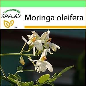 SAFLAX - Garden to Go - Moringa - 10 semillas - Moringa oleifera