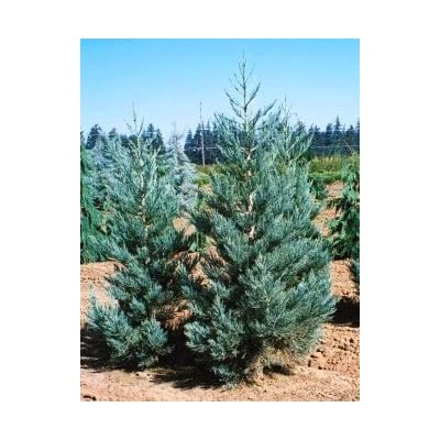 Blue Giant Sequoia 1 - Year Live Plant : Tree Plants : Garden & Outdoor