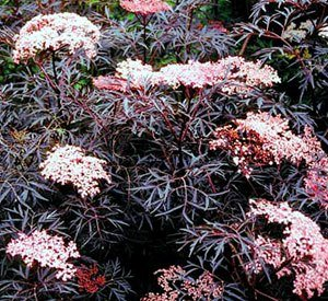 (Black Lace Elderberry - Dark maroon Nearly Black Lacy Foliage and Fragrant Pink Flowers - 2 Year Live Plant)
