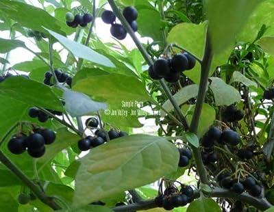 Solanum melanocerasum Seeds Tropical Garden Huckleberry White Flowers Organic 20 Seeds with Tracking