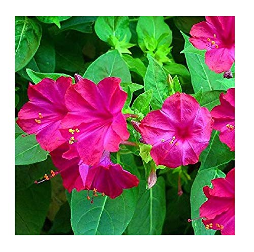 David's Garden Seeds Flower Four O'Clock Pink 6224 (Pink) 50 Non-GMO, Open Pollinated Seeds