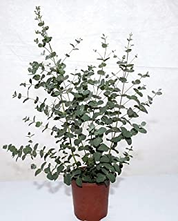 Silver Dollar Eucalyptus Plant   EASY INDOORS OR OUT!