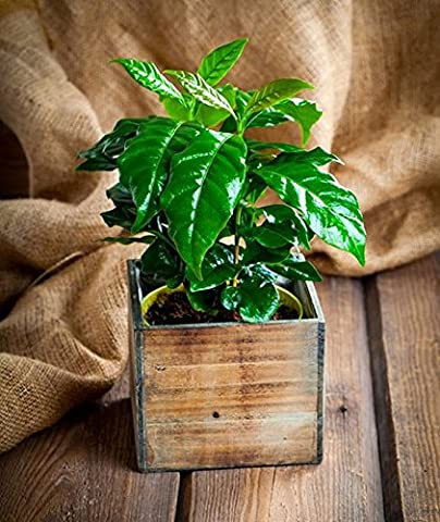 DWARF COFFEE SEEDS - COFFEA ARABICA NANA