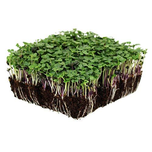 Cabbage Leaf Salad - Basic Salad Mix Microgreens Seeds | Non-GMO Micro Green Seed Blend | Broccoli, Kale, Kohlrabi, Cabbage, Arugula, More (1 Pound)