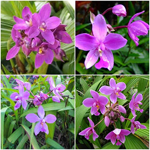 Spathoglottis Ground Orchids, Purple Passion One Well Rooted Plant 5 inches - Orchid Ground