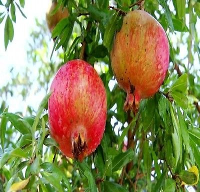 Russian Pomegranate Tree Cold Tolerant very Sweet Fruit (1 gallon) Plant Pot by gk_usa_mall  (Image #1)