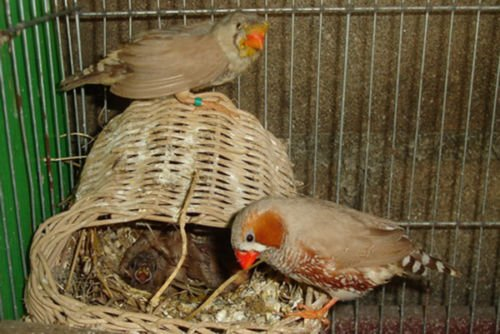 Handmade Rattan Nature's Nest Finch Birds 3x5 Inch by Power of Dream (Image #7)