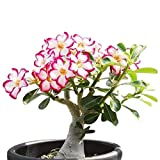 Desert Rose, Adenium Obesum one year plant , baby size bonsai caudex from Lankui