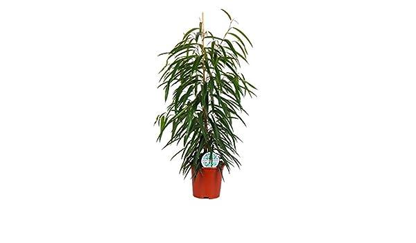 Planta de interior – Ficus Alii – Altura: 100 cm: Amazon.es: Jardín